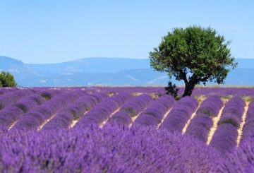 Beautiful lavender fields in Provence